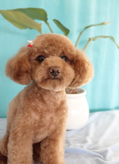 <p>耳の長さを短くして、幼く見えるように</p> <p>全身カット  ¥6,000</p>