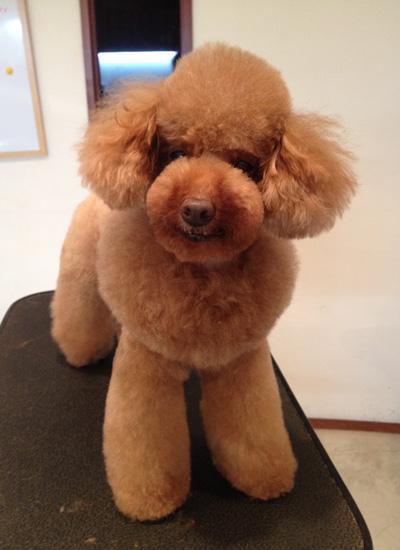 <p>特徴的なマズルのつくりと、首まわりに残した飾り毛がオシャレ</p> <p>全身カット+デザインカット</p> <p>¥7,000</p>